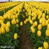 zluty tulipan triumph jan van nes 2