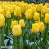 zluty tulipan triumph jan van nes 5