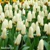 Tulipán Concerto 3