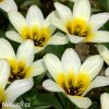 nizky tulipan concerto 1