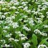 Allium Ursinum2