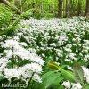 Allium Ursinum4
