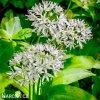 Allium Ursinum1