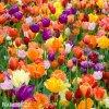 Tulipany smes 50 13
