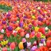 Tulipany smes 50 14