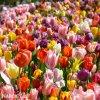 Tulipany smes 50 15