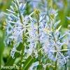 ladonik svetle modry camassia cusickii 2