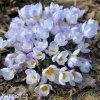 Krokus Blue Pearl chrysanthus 1