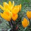 zluty krokus luteus golden 4