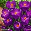 fialovy krokus victor hugo 3
