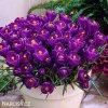 fialovy krokus victor hugo 4