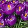 fialovy krokus victor hugo 5