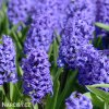 Hyacint Blue Pearl 2