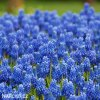 modřenec muscari blue magic 2