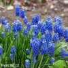 modřenec muscari blue magic 3