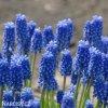 Modřenec Muscari Blue Magic 4