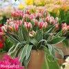 ruzovozeleny tulipan esperanto 2