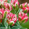 ruzovozeleny tulipan esperanto 3