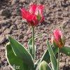 ruzovozeleny tulipan esperanto 6