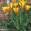 Tulipán Giuseppe Verdi 2