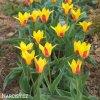 Tulipán Giuseppe Verdi 3
