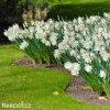 Narcis Mount Hood 5