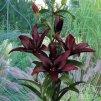Lilie asijská - Mapira