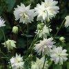 Aquilegia white barlow 01