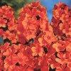 Phlox Orange 02