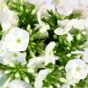 Phlox White 04