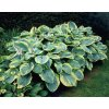 Hosta Frances williams sieboldiana 3