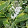Hosta Frances williams sieboldiana 1