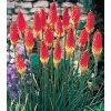 Kniphofia Royal 02