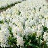 bily hyacint carnegie 2
