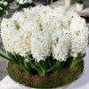 bily hyacint carnegie 5