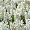 bily hyacint carnegie 6
