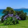 Agapanthus tmavě modrý 2