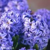 modry hyacint delf blue 5