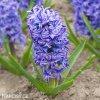 modry hyacint delf blue 1