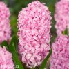 ruzovy hyacint fondante 6