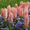 Hyacint Gipsy queen 7