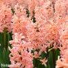 ruzovy hyacint gipsy queen 5