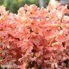 Hyacint Gipsy queen 9