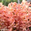 ruzovy hyacint gipsy queen 6