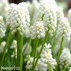 bílý Modřenec Muscari Snowqueen 5
