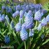 světlý modřenec muscari azureum 4