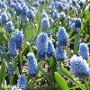 světlý modřenec muscari azureum 5