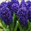 Hyacint Aida 2