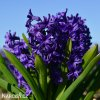 fialovy hyacint aida 3