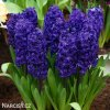 fialovy hyacint aida 5